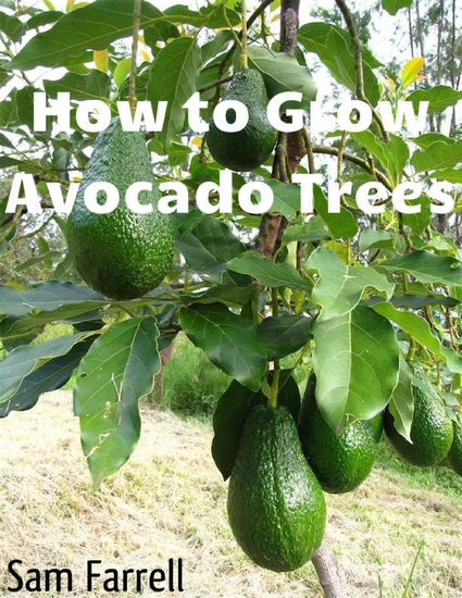 How to Grow Avocado Trees - cover